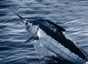 Atlantic blue marlin (by Wikipedia)